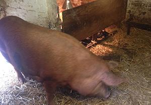 Acton Scott Victorian Working Farm
