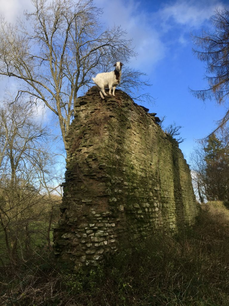 Goats Patrolling Richards Castle, Ludlow